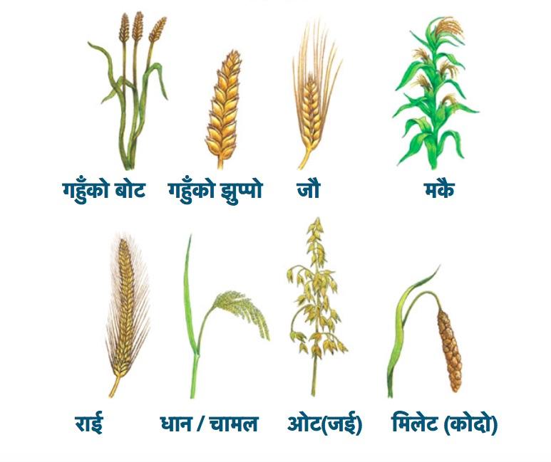 What is quinoa in Nepali? Is it Kodo, Junelo Makai or ...